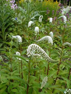gardens border Lysimachia clethroides a perennial for the herbaceous or mixed border. Lysimachia clethroides a perennial for the herbaceous or mixed border. Moon Garden, Dream Garden, Shade Garden, Garden Plants, Beautiful Gardens, Beautiful Flowers, Mixed Border, Herbaceous Border, California Garden