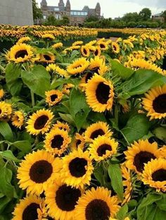 40 Gambar Bunga Matahari Terbaik Di 2020 Bunga Matahari Latar Belakang