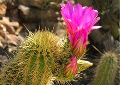 Scopri come coltivare il cactus...
