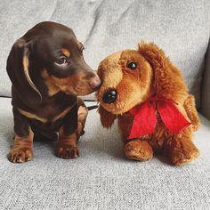 Meet Wilson and his friend #doxiepop Photo credit @_weeniewilson