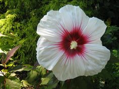 Rose of Sharon Rose Of Sharon, My Favorite Things, Flowers, Plants, Flora, Royal Icing Flowers, Floral, Plant, Florals