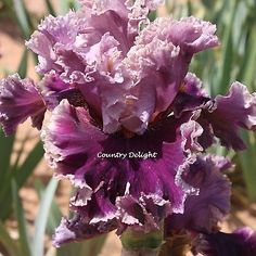 ANOTHER WOMAN Tall Bearded Iris - SHIPPED IN JULY | eBay!
