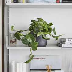 Golden Pothos — Epipremnum Aureum Watering - Don't let it dry out, but don't overwater. Likes to be moist Light - Indirect light Indoor Garden, Indoor Plants, Pathos Plant, Golden Pothos Plant, Best Office Plants, Ivy Plants, Low Maintenance Plants, Free Plants, Perfect Plants