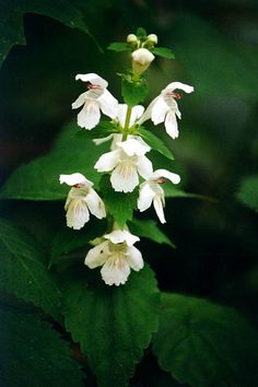 Guyandotte Beauty (Synandra hispidula) Common Name: Synandra, a federally endangered species - Indiana Rare Flowers, Amazing Flowers, White Flowers, Beautiful Flowers, Wild Edibles, White Gardens, Flower Images, Flowering Trees, Outdoor Plants