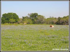 A Texas Longhorn and a couple of horses in a field of Texas Bluebonnets...