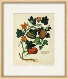Gorgeous botanical illustration by Ulisse Aldrovandi It comes from the Italian book published in the 1700's.  This print is digitally enhanced