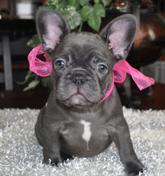 Blue Brindle French Bulldog Puppy - oh what I would give to have one!!! Blue Brindle French Bulldog, French Bulldogs, Baby Puppies, Cute Puppies, Every Dog Breed, Pet Dogs, Doggies, New Blue, Dog Love