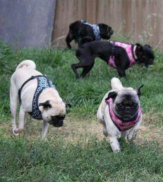 Pug patrol Pugs, French Bulldog, Animals, Animales, Animaux, French Bulldog Shedding, Bulldog Frances, Pug, Pug Dogs