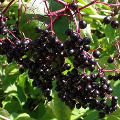 American Elderberry - Sambucus canadensis - The Hardy Fruit Tree Nursery Fruit Bushes, Fruit Trees, Elderberry Bush, Fruit Tree Nursery, Garden Organization, Forest Garden, Garden Paths, The Artist's Way, Berry Plants