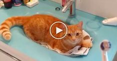 This ginger kitty loves laying in the sink, but the reason why isn't what you might think! - This kitty is waiting for his owner to pick up his electric toothbrush... His reaction when he hears the all-too-familiar sound is hilarious! This sweet ginger knows the buzzing sound and never misses an
