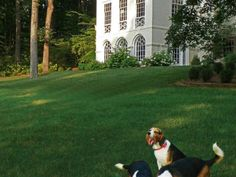 The family beagles play on the green lawn in front of the pediment facade of the main house.