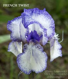 sea mistress gower iris
