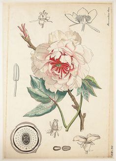 Sacred Really Like - 22 Solutions That Should Change The Tide In Your Daily Life Along With The Lives Of Any Individual Antique Botanical Illustration. Peony Illustration, Illustration Botanique, Science Illustration, Vintage Botanical Prints, Botanical Drawings, Botanical Flowers, Botanical Art, Old Illustrations, Motif Floral