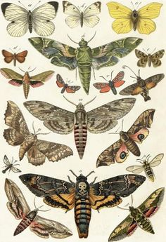 Butterflies and moths, Lepidoptera, zoological illustration, biodiversity library