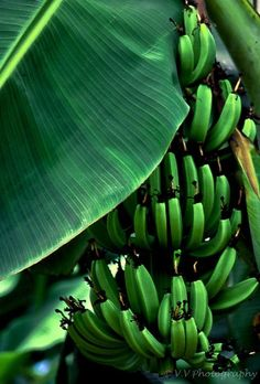 Banana Tree ~ Photography by Vien Vo on Green Life, Go Green, Green Colors, Bright Green, Green Fruit, World Of Color, Color Of Life, Estilo Tropical, Tropical Vibes