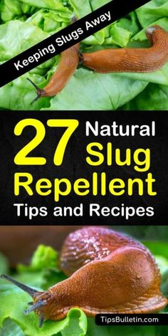Discover how to use homemade, natural slug repellent tips to protect your plants and gardens against slugs and snails. Use pest control tactics like eggshells and wood pellets to act as a natural slug repellent. #slugrepellent #snailkiller Slugs In Garden, Snails In Garden, Garden Insects, Garden Pests, Garden Snail, Garden Fertilizers, Eco Garden, Garden Edging, Natural Garden