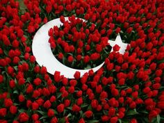 Everybody thinks that tulips come from Netherlands. Actually, Tulips are native to Central Asia and Turkey. In the Century they were brought to Netherlands from Turkey, and quickly became widely popular. Turkey Flag, Red Tulips, My Favorite Color, Mother Earth, Backyard Landscaping, Red And Pink, Organic Gardening, Beautiful Flowers, Exotic