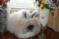 Angora Angora Angora rabbit...lol..looks like a fuzzy house slipper! i just <3 it!