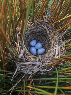 Red-Winged Blackbird Nest with Four Eggs in a Marsh, Agelaius Phoeniceus by Gary Meszaros Red Wing Blackbird, Bird Crafts, Backyard Birds, Tortoises, Wild Birds, Bird Cage, Bird Watching, Bird Feathers, Pet Birds