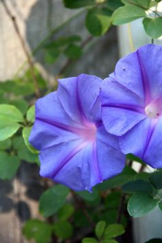 Morning Glory absolute gorgeous   A Spectrum of Color