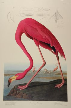 Video discussing this amazing Flamingo and the career, book, and working methods of John James Audubon | Picturing America On Screen | THIRTEEN