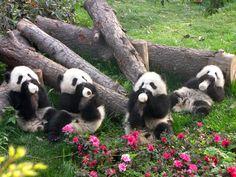 Adorable pandas.