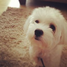 Cute Maltese Puppy :)