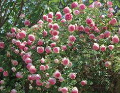 Nursery Supplies, Trellis Fence, Citrus Heights, Types Of Roses, Border Plants, Pot Plante, Plant Information, Old Rose, Climbing Roses