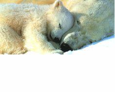 Polar Bear cuddle time
