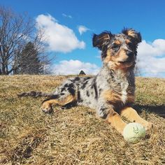 Australian Shepherd Lab mix Puppy Dog Collection Source by doggiehaven The post Dog Collection appeared first on Coulson Puppies. Australian Shepherd Lab Mix, Australian Shepherd Training, Aussie Shepherd, Lab Mix Puppies, Aussie Puppies, Dogs And Puppies, Doggies, Blue Merle, Golden Retriever