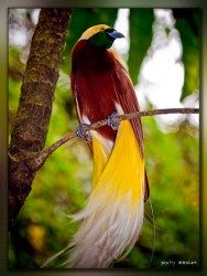 Birds of Paradise in Indonesia | Investvine
