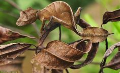 This Satanic Leaf-tailed Gecko hides from predators in Andasibe-Mantadia National Park, Madagascar. Can you spot him??