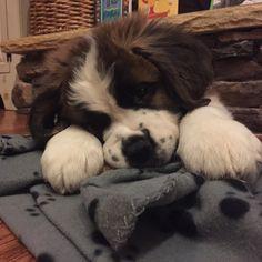I get the cutest pictures of #RosieGirl #loveher #puppymodel #StBernardPuppy