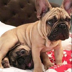 The major breeds of bulldogs are English bulldog, American bulldog, and French bulldog. The bulldog has a broad shoulder which matches with the head. Cute French Bulldog, French Bulldog Puppies, Funny French Bulldogs, Cute Baby Animals, Funny Animals, Cãezinhos Bulldog, Cute Puppies, Cute Dogs, Tier Fotos