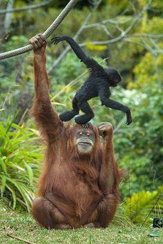 O que me impressiona, à vista de um macaco, não é que ele tenha sido nosso passado: é este pressentimento de que ele venha a ser nosso futuro.  Mario Quintana - (1906-1994)
