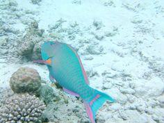 Papageifisch,Malediven