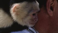 How to Raise a Baby Capuchin Monkey | Animals - mom.me