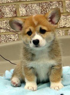 Corgi Puppy .. I want one !!!