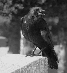 Attracting Crows and Ravens: