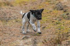 German wirehaired pointer, gwp