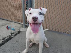 ZEUS_A1123340 Super Urgent Dogs These animals are either high risk, injured or have previously appeared on the To Be Destroyed list and survived. They are in danger of being on the list again or destroyed without any further notice.