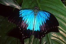 The Ulysses Butterfly (Papilio ulysses) is perhaps the most popular and recognisable resident of Tropical North Queensland. A large example ...