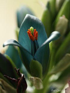 First time seeing this on Pinterest - Puya alpestris bromeliad