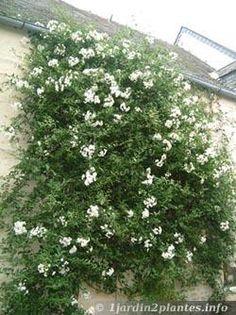 solanum jasminoides contre un mur au sud