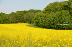 Champs de colza, Sud de l'Aisne
