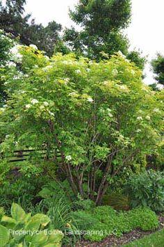 elderberry info, Sambucus canadensis