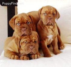Dogue De Bordeaux / Bordeaux Mastiff / French Mastiff / Bordeauxdog