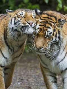 Snuggling tigers   Flickr - Photo Sharing!