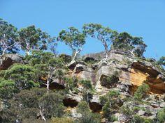 Eucalyptususes