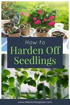 How to harden off seedlings.